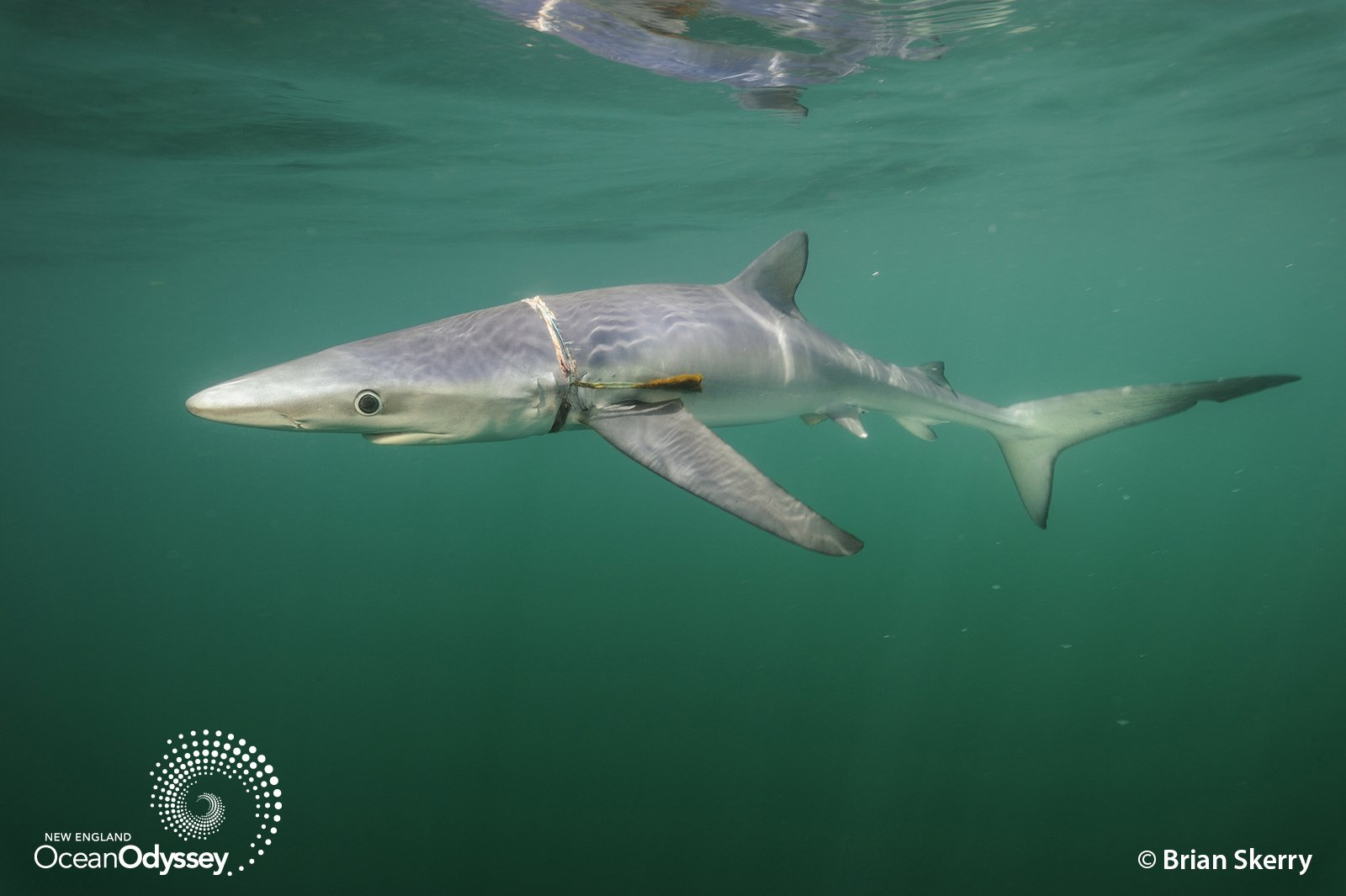 A male Blue Shark with lines and plastic strap wrapped around its body swims below the surface of the sea; New England